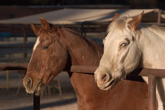 """Spot"" and ""Dakota"" (David~O) Tags: california horses horse animalplanet corral rranch johnsondale brillianteyejewel kerncountyphotographers blueeyedhorses"