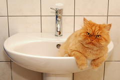 Garfi-Cat in the sink (E.L.A) Tags: family orange pet pets white cute nature animal horizontal comfortable cat turkey tile fur fun bathroom photography persian orangecat kitten feline europe day sitting sink humor kitty posing kittens nopeople istanbul indoors attitude faucet kitties ideas mischief domesticanimals garfield domesticlife domesticcat gettyimages persiancat garfi bathroomsink oneanimal colorimage lookingatcamera homeinterior threequarterlength animalthemes animalbehavior insideof bestcatphotos differentcatbreeds