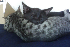 Kitten Love 2 (CatLadyGeek) Tags: cats cute angel cat blackcat tabby tiger kittens sleepingcat cosmos tigercat catsleeping sleepcat camfjan08