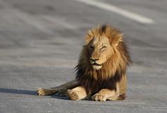 The Rollercoaster Male (Lyndon Firman) Tags: africa canon southafrica lion safari pantheraleo malamala anawesomeshot impressedbeauty superhearts eos1dmkiii photofaceoffwinner platinumheartaward rollercoastermale