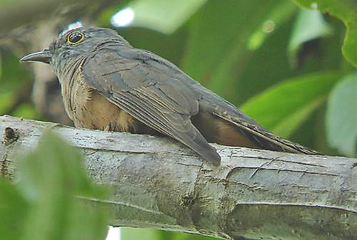 Moluccan Cuckoo (Cacomantis heinrichi) by aviceda.