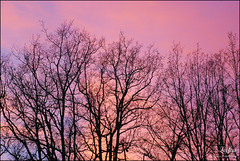 Arbres roses / Pink trees (le) Tags: pink trees sky rose evening ciel arbres soir