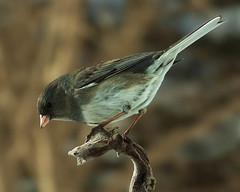 Junco ~ Female (Clyde Barrett) Tags: newfoundland junco nl nfld darkeyedjunco juncohyemalis naturesfinest supershot specanimal avianexcellence clydebarrett