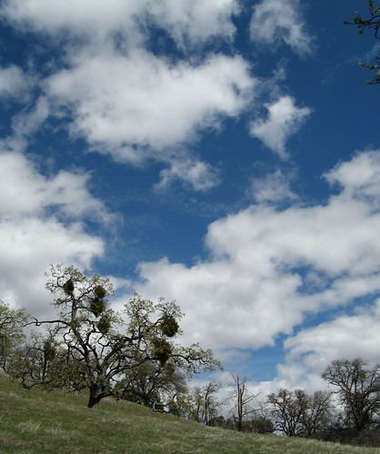 Oaks and sky