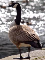 Canada Goose (Roger B.) Tags: goose canadagoose brantacanadensis bakewell invasivespecies