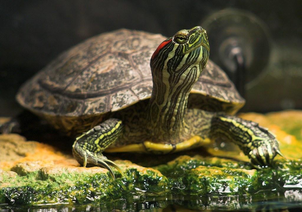 turtle basking time even though the red eared slider spend. Black Bedroom Furniture Sets. Home Design Ideas
