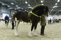 Bay Shire Stallion (Vicktrr) Tags: show horse shire 2008 peterborough