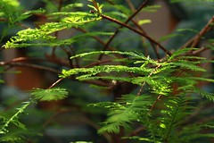 Dawn Redwood bonsai (nosha) Tags: japanesegarden newjersey nj explore greenhouse zen bonsai destroyed dukegardens dawnredwood dorisduke nosha metasequoiaglyptostroboides explored ddcf dukefarms 1000placesusa savedukegardens dorisdukecharitablefoundation joanesperopresident nannerlokeohanechair johnjmackvicechair harrybdemopoulos anthonysfauci jamesfgill annehawley peteranadosy williamhschlesinger johnhtwilson johnezuccotti