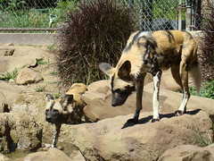 African Wild Dogs at the Los Angeles Zoo