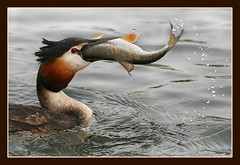 Greedy Grebe.. (hvhe1) Tags: fish holland bird nature animal sushi bravo wildlife waterfowl grebe biesbosch wetland birdwatcher fuut naturesfinest firstquality specanimal animalkingdomelite hvhe1 hennievanheerden avianexcellence