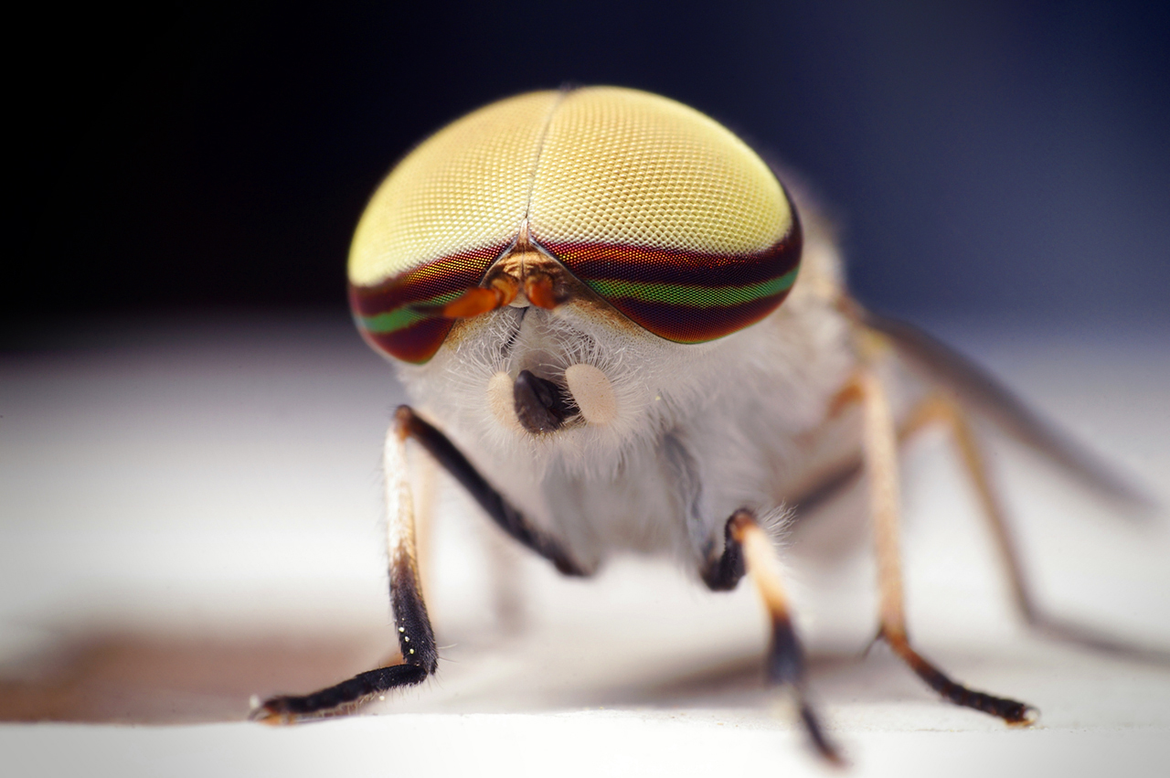 Bug close-up: Male Striped Horse Fly