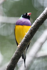 Gouldian Finch - Male (mrdehoot) Tags: bird australia finch queensland birdwatcher goldcoast australianbirds gouldianfinch currumbinsanctuary erythruragouldiae