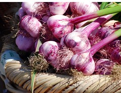 organic purple garlic at the farmers market