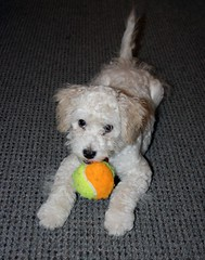 Who's got the ball? (Graustark) Tags: dog pet white puppy tennisball dinky ratapoo ratoodle ratterrierpoodlemix