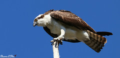 """""""I clawed my way to the top."""" (Shannon Rose O'Shea) Tags: shannonroseoshea shannonosheawildlifephotography shannonoshea shannon osprey raptor bird beak feathers circlebbarreserve lakeland florida flickr wwwflickrcomphotosshannonroseoshea nature wildlife waterfowl outdoors outdoor bluesky blue talons claws tailfeathers brown white canon canoneos80d canon80d eos80d 80d canon100400mm14556lisiiusm fauna"""