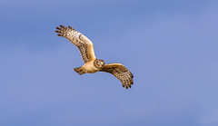 Northern Harrier hunting for prey (glowworm6a) Tags: grandtetons stanwood wa usa