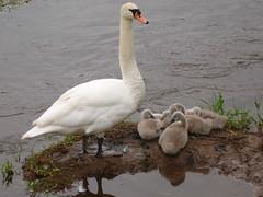 Swan and cygnets (rainbowcharade) Tags: swan cygnets