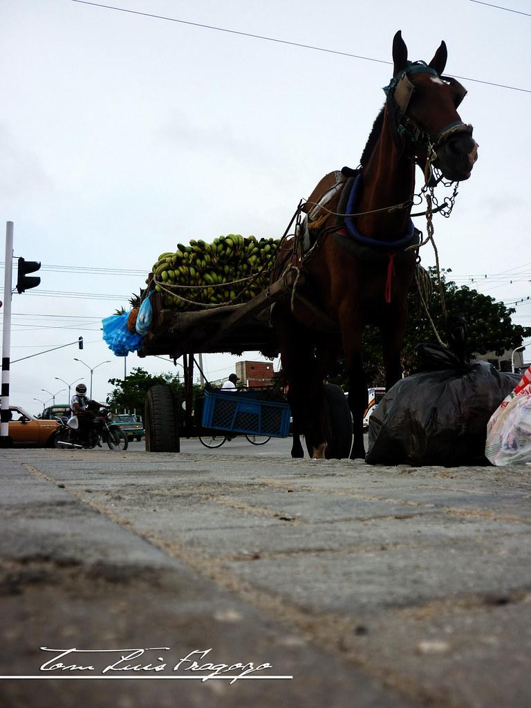 caballo platanero