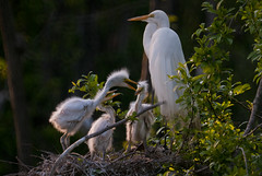 Family portrait (The Suss-Man (Mike)) Tags: bird nature animal georgia dof sylvester nest bokeh chicks egret whiteegret snowyegret worthcounty bokehlicious thesussman sonyalphadslra200 minoltaafreflex500mmf8