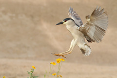 IMG_9405 Black-crowned Night-Heron (lois manowitz) Tags: arizona birds tucson flight herons lakesidepark supershot