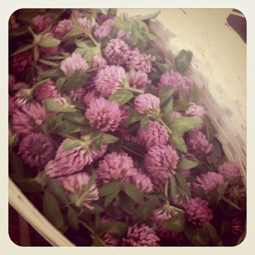 Foraging for red clover today. :-)