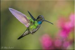 Magnificent Hummingbird (M) (A Antal) Tags: costarica ngc supershot specanimal avianexcellence slicesoftime blinkagain bestofblinkwinners