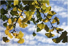 Green to Yellow (musapix) Tags: blue autumn sky plant green fall yellow clouds botanical leaf ginkgobiloba