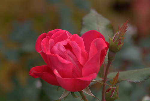 Red Knockout Rose by photomason