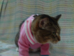 Jinx in a sweater (apparentlyimDEANNA) Tags: cat sweater jinx