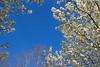 Spring Sky (olvwu | 莫方) Tags: sky usa white flower ga georgia whiteflower spring savannah rosales bradfordpear rosaceae jungpangwu oliverwu oliverjpwu magnoliopsida pyruscalleryanabradford olvwu jungpang 莫方 吳榮邦