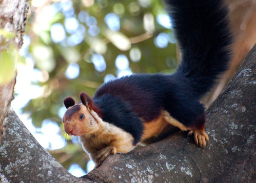 latest images of malabar gaint squirrels posters