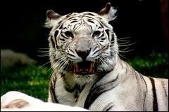 The Eye of A Tiger (~~[(QTR)]~Mubarak~) Tags: las vegas summer usa white zoo tiger nevada nv 101 mirage breed rare 2007 superbmasterpiece ysplix focuslegacy fiveflickrfavs vosplusbellesphotos flickrbigcats