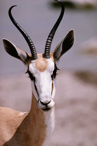Thomsons-Gazelle-Antelope-Face-Closeup