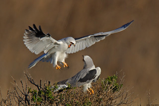 White-tailed Kite Couple