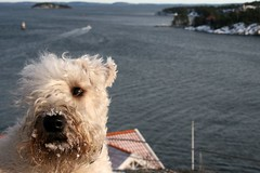 Wheatie Buck visiting Dalar (Taru80) Tags: sea irish dog water canon boat sweden baltic terrier buck archipelago wheaten dalar softcoated xti 400d