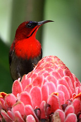 "King of the ""hill"" (J.^2) Tags: bird canon singapore artistic expression j2 pictureperfect sunbird jiangjiang birdwatcher crimsonsunbird naturesfinest torchginger blueribbonwinner artisticexpression supershot flickrsbest 400d mywinners abigfave amazingamateur brillianteyejewel theperfectphotographer jsquare"
