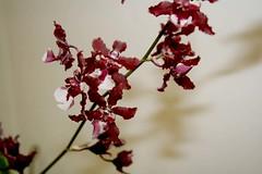 Judi's orchid