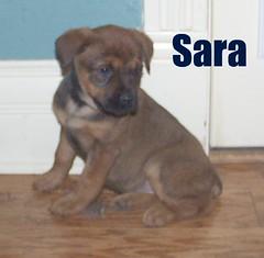 Sara (muslovedogs) Tags: mastiff rottweiler mastweiler zeusoffspring myladyoffspring
