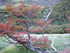 Ushuaia - trek - paso de la oveja - arbre