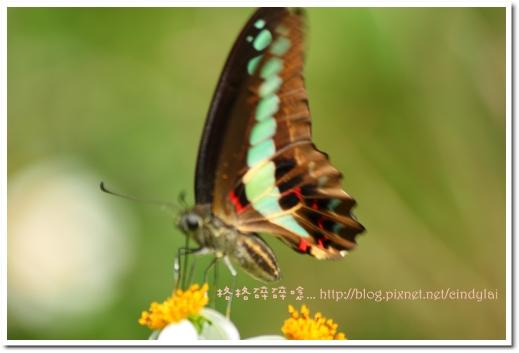 20080503桐花_115