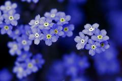 Twinkle twinkle little star (Lee_Bryan) Tags: flower macro japan canon eos dof bokeh 100mm forgetmenot usm fukuoka f28   firstquality hbw  400d macroflowerlovers superbmacroflowers ahqmacro alemdagqualityonlyclub