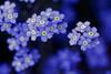 Twinkle twinkle little star (Lee_Bryan) Tags: flower macro japan canon eos dof bokeh 100mm forgetmenot usm fukuoka f28 ♫ 福岡 firstquality hbw 福岡市動植物園 400d macroflowerlovers superbmacroflowers ahqmacro alemdagqualityonlyclub