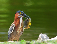 Catch Of The Day (Bubba Trout) Tags: fish west bird heron pond iowa avian desmoines bluegill greenheron ishouldreallystartabirdset yesyoureallyshouldstartabirdset