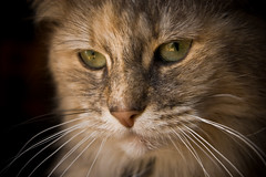 Evie (Chrissie64) Tags: light portrait pet macro reflection cute nature beautiful face animal closeup cat wonderful fur mammal intense furry feline flickr pretty dof sweet tabby adorable whiskers greeneyes mainecoon stare lovely furryfriday staring evie puss myfavourites photogenic concentrate concentrating wetnose eyereflection kittycrown reflectionineye tortytabby