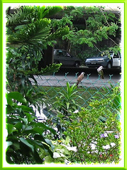 A salute to the proud parents, a pair of Pycnonotus goiavier (Yellow-vented Bulbuls)