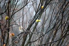 Cesena (MILESI FEDERICO) Tags: milesi milesifederico bird uccello volatile wild wildlife winter inverno febbraio 2017 nikon nikond7100 nital nature natura nat sigma sigma150500 d7100