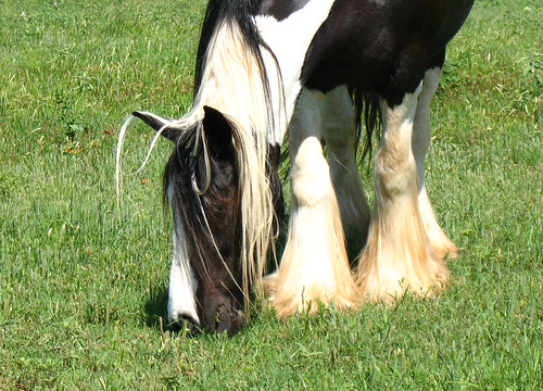 gypsy vanner bad hair day