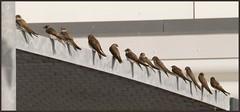 In line (Kirsten M Lentoft) Tags: birds bej kirstenmlentoft trolledproud