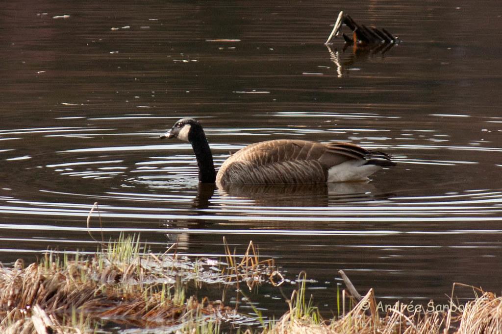 Canada Goose at the beaver bog-22.jpg