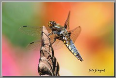 Libelle - Odonata (fragud) Tags: red summer orange sun rot nature germany garden deutschland flora nikon dragonflies dragonfly sommer natur gelb alemania nrw tele sonne libelle garten frhling dx frei libellula freiheit odonata  depressa  d90 nikor alemagne plattbauchlibelle 100commentgroup  doublyniceshot doubleniceshot tripleniceshot mygearandme mygearandmepremium mygearandmebronze mygearandmesilver mygearandmegold mygearandmeplatinum dblringexcellence tplringexcellence bestofblinkwinners eltringexcellence 4timesasnice 6timesasnice 5timesasnice